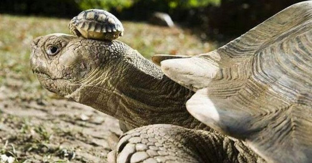 140 year old mother tortoise wearing her 5 day old son as a hat